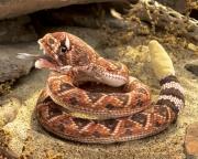 2893 Мягкая игрушка Гремучая змея Folkmanis